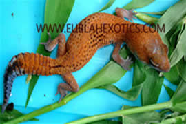 African Fat-Tail Gecko Morph