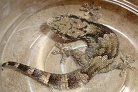 African Wall Gecko