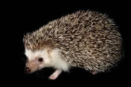 African Hedgehogs