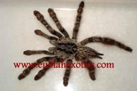 Aranieds Lycosta (Baboon Spider)