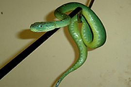 Atheris Chloreachis (Green Tree Viper)
