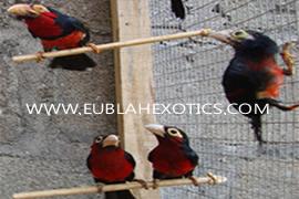 Barbets (Lybius SP)
