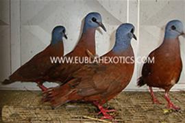 Blue-Headed Wood Dove (Turtur Brehmeri)