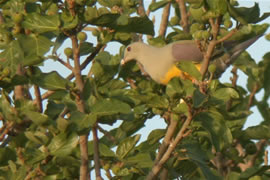 Bruces Green-Pigeon