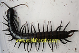 Centipede (Unknown Species)