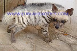 Hyena Hyaena (Striped Hyaena)