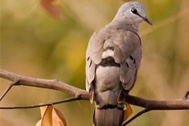 Black Billed Wood Dove