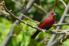 Blue-Billed Firefinch