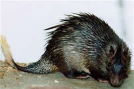 Brush Tail Porcupine