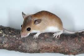 Pygmy Mouse