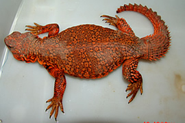 Uromasty Geryri (Red)